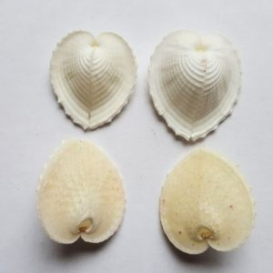 Corculum-cardissa