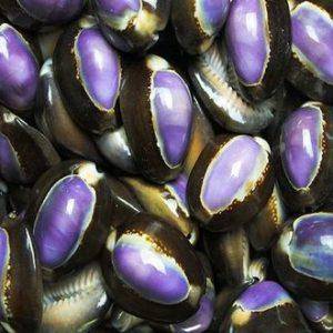 --20-Cyprea-caput-purple