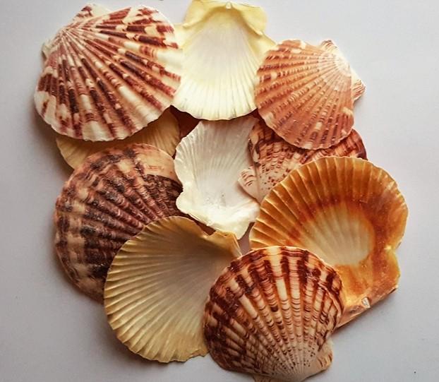 виды морских раковин с фото понравился, так